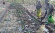 Gushegu: Dry Season Gardening Proving Positive