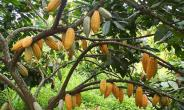 Farmers To Petition President Over Cultivation Of Rubber To Replace Cocoa