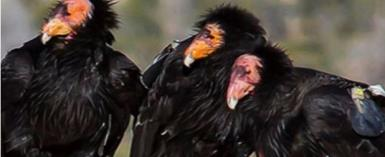 The Acquired Vultures Virus: Some Nigerian Politicians Syndrome