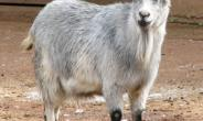 Missing Goat Causes Stir