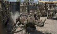 The black rhinos were shipped over to Chad from South Africa as part of an ambitious plan to reintroduce the species there after poachers had wiped them out.  By STEFAN HEUNIS (AFP/File)