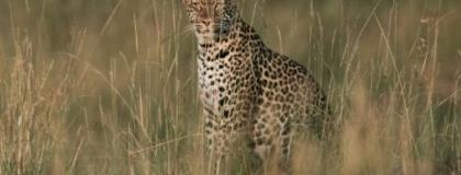 The number of leopards in Africa has plunged 40 percent in Africa in recent years.  By Yasuyoshi CHIBA (AFP)