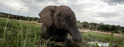 The proposed legislation would overturn a 2014 ban on hunting which was introduced to protect Botswana's wildlife and reverse a decline in the elephant population.  By CHRIS JEK (AFP/File)