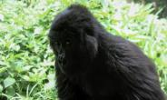 Virunga is home to about a quarter of the world's population of critically-endangered mountain gorillas.  By CHARLY KASEREKA (AFP/File)