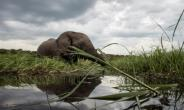 An elephant splashes in the waters of the Chobe river in Botswana, which has Africa's largest elephant population.  By CHRIS JEK (AFP/File)