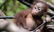 At the current pace, researchers predict that 45,000 more orangutans, slow-breeding ginger-haired apes, will be lost over the next 35 years.  By BAY ISMOYO (AFP/File)