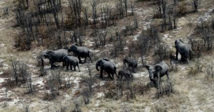 Botswana said it was overturning a 2014 ban introduced to reverse a decline in the elephant population with ruling party lawmakers claiming wild animal numbers have become unmanageable.  By MONIRUL BHUIYAN (AFP/File)