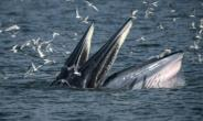 Bryde's whales can weigh up to 30 tons when mature and typically eat krill and fish.  By Lillian SUWANRUMPHA (AFP/File)