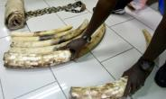 Four traffickers were caught with elephant tusks like these, as well as 46 elephant tails, coveted items that are the reason over 35,000 elephants are slaughtered each year.  By ISSOUF SANOGO (AFP/File)