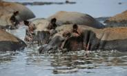Hippopotamuses are among the many species affected by the threat to Lake Turkana, says the UN.  By ROBERTO SCHMIDT (AFP)