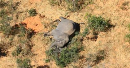 Hundreds of elephants have been found dying (picture courtesy of National Park Rescue).  By - (NATIONAL PARK RESCUE/AFP)