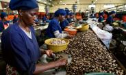 Ivory Coast is the world's biggest grower of cashews -- it now hopes to develop the processing side of the industry, to create jobs and wealth.  By ISSOUF SANOGO (AFP)