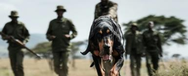 Kenyan ranger Maseto Sampei holds his bloodhound during a trace training session in the Mara Triangle.  By Yasuyoshi CHIBA (AFP/File)