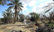 Libyan farmer Mahmoud Abou al-Habel waters surviving palm trees after he returned to his damaged farm in Tawergha, seven years after fleeing.  By Mahmud TURKIA (AFP)
