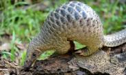 Pangolin meat is also prized as a culinary delicacy and its body parts as an ingredient in traditional medicine in parts of Asia particularly in China and Africa.  By ROSLAN RAHMAN (AFP)