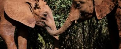 Playmates: Orphaned elephants at the David Sheldrick Wildlife Trust in Nairobi. The nursery has saved and rehabilitated more than 230 baby elephants in 42 years.  By Yasuyoshi CHIBA (AFP)