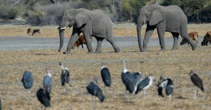 Protection row: Botswana has introduced new rules enabling elephants to be hunted legally.  By MONIRUL BHUIYAN (AFP)