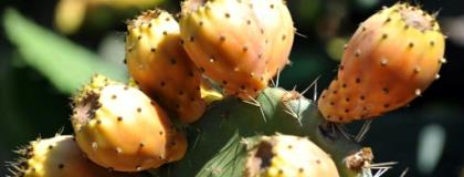 Prickly pears like these in Morocco are proving fruitful for growers in neighbouring Algeria.  By ABDELHAK SENNA (AFP/File)