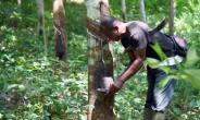 Rubber trees take six to seven years to mature before they can be tapped, a process which involves making incisions in the tree's bark to allow its milky sap to collect in a cup attached to the trunk.  By Sia KAMBOU (AFP)