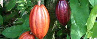 Controlling Cocoa Pricing