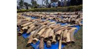Picture taken on February 4, 2014 shows a haul of ivory at the security ministry in Togo's capital Lome seized at the city's autonomous port.  By Emile Kouton (AFP/File)