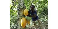 Picture taken on October 25, 2010 shows a young employee harvesting beans from a cocoa tree in Amichiakro in a cocoa plantation in Divo, Ivory Coast.  By Sia Kambou (AFP/File)